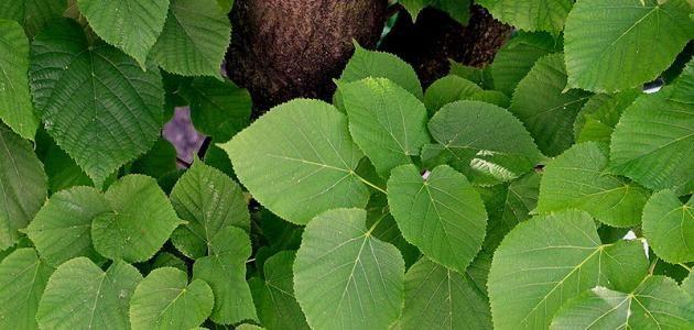 عشبة الزيزفون الزيزفون أو التليو وكذلك يسم ى بزهر الليمون هو نبات ذو مذاق طيب ورائع وهو مفيد جدا لجسم الإنسان بفضل احتوائه على ك Plant Leaves Plants Leaves