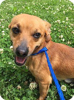 Savannah Ga Chihuahua Rat Terrier Mix Meet Rico A Dog For