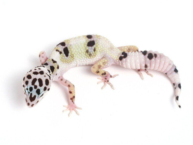 SOLD* Halloween Mask X TUG Snow Leopard Gecko - 070113B