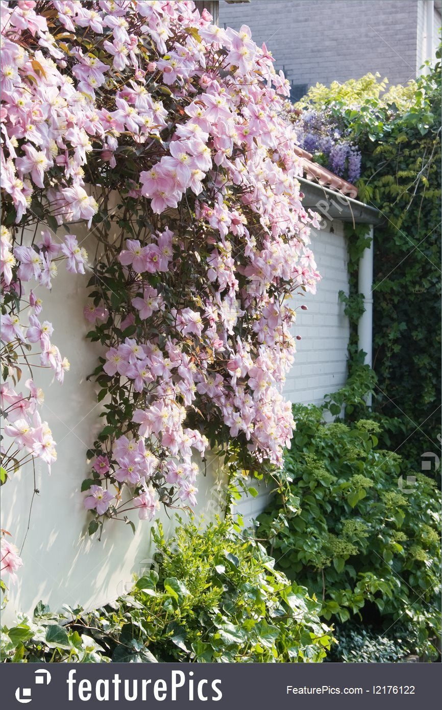 Flowers white wall with pink flowering clematis montana in spring