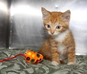 Adopt Toffee On Kittens Orange Cat Cats And Kittens