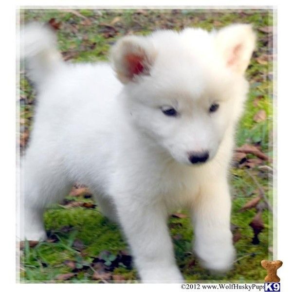 Solid White Hybrid Puppies In Nc Ready Now A Wolf Dog Pup For