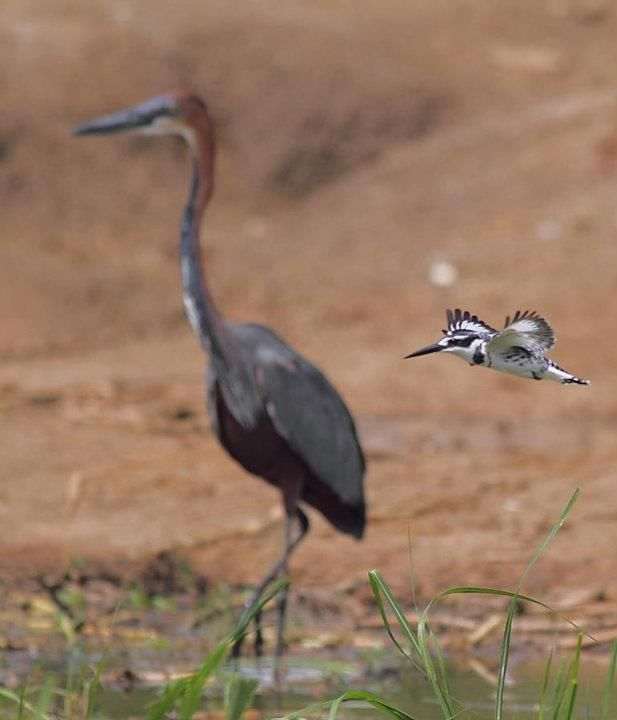 Goliath Heron and Pied Kingfisher