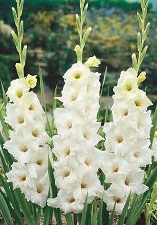Gladiolus White Prosperity -corms