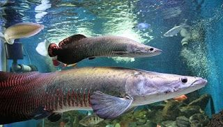Harga Ikan Arapaimaikan Arapaima Dari Amazonikan Arapaima Dijualikan Arapaima Terbesar