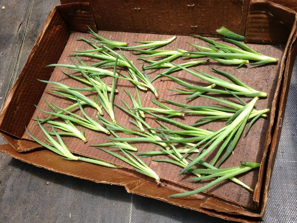 how to propagate aloe pups let pups dry for 3 days before planting so that the wet broken off. Black Bedroom Furniture Sets. Home Design Ideas