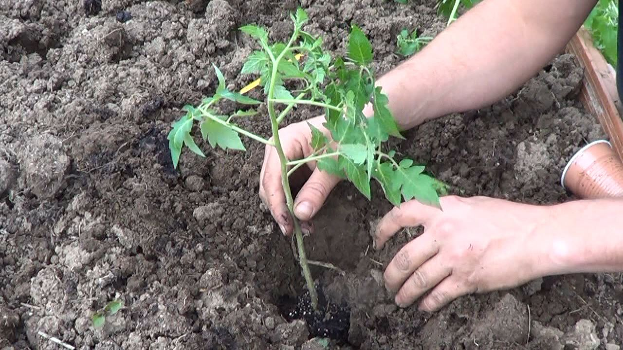 Como Plantar Tomates En El Huerto Huerto Pinterest ~ Como Cultivar Tomates En El Huerto