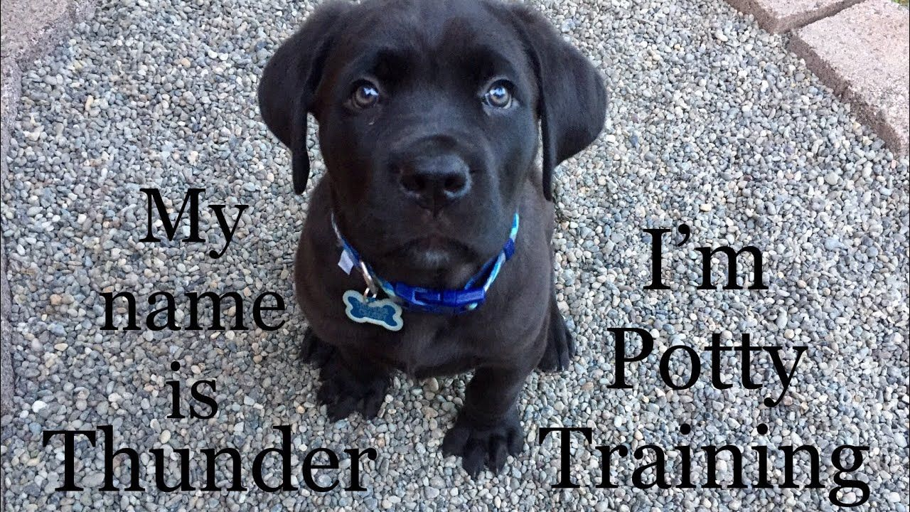 8 Week Old Puppy Is Potty Training How To Train Quickly