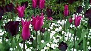 Image result for butchart gardens spring prelude