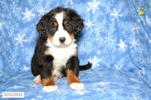 Bernese Mountain Dog Puppy For Sale In Ohio Http Www Buckeyepuppies Com Puppy For Sale Bern With Images Bernese Mountain Dog Puppy Puppies For Sale Bernese Mountain Dog