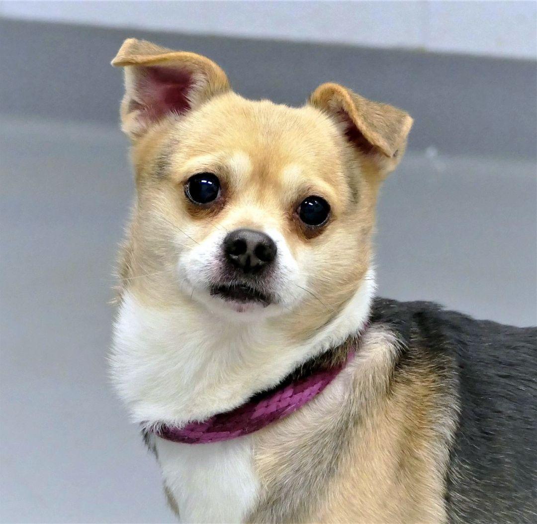 Adopt Rambo On Dogs Chihuahua Mix Pet Adoption