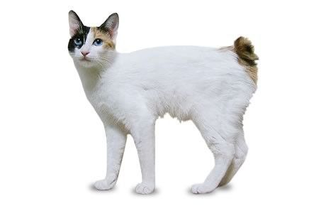 the japanese bobtail breeds tell tale characteristic is a short bunny tail that