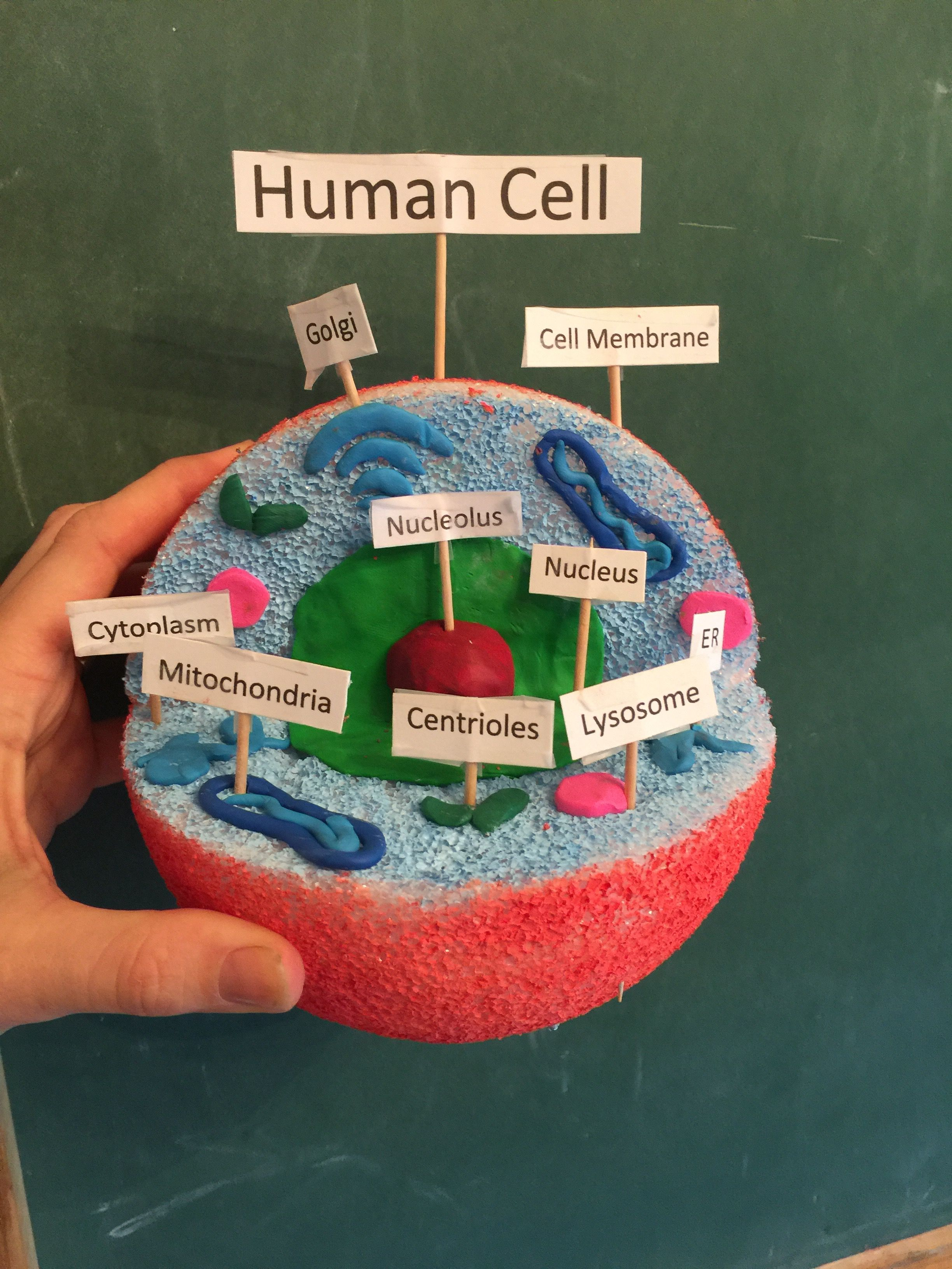 Human cell model   Animal cell project, Cell model project ...