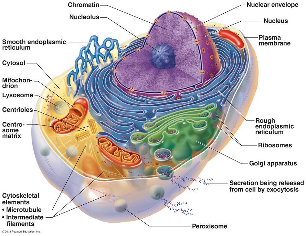 Cells The Living Units Mitochondria
