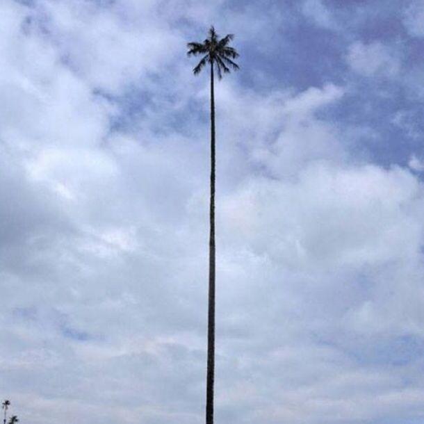 أطول أنواع النخيل بالعالم يصل طولها الى ٥٠ متر وتوجد في جبال الأنديز نخيل القصيم معلومة ثقافة نخل نخيل نخلة Wind Turbine Lamp Post Turbine