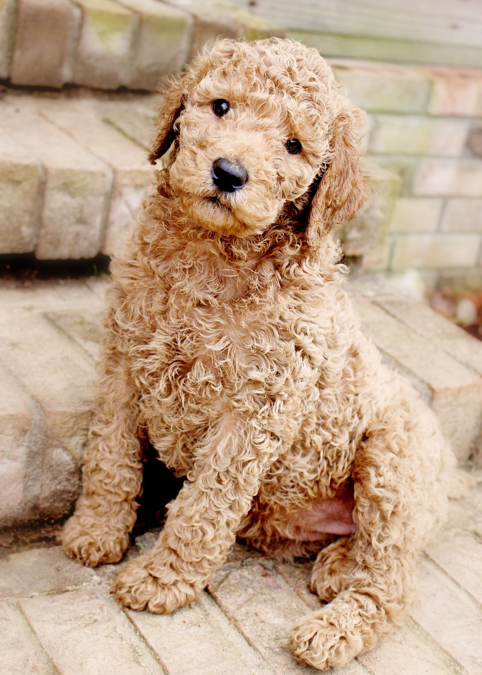 Kimber 6 week old apricot standard poodle puppy ...