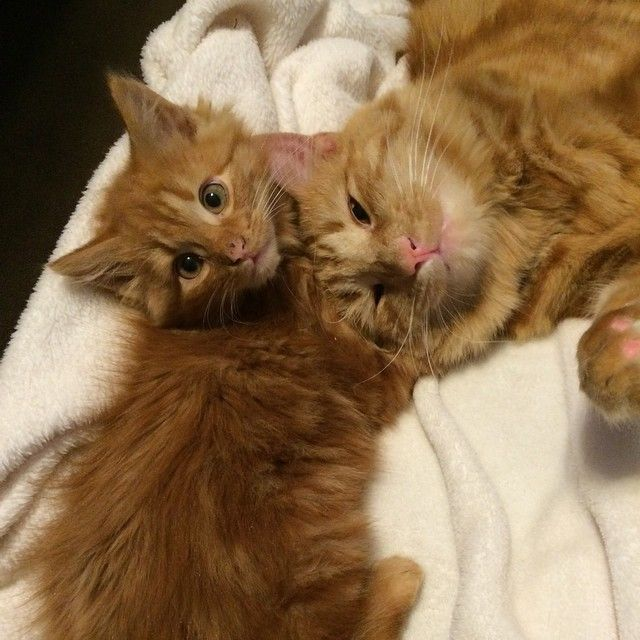 Cat Finds His Mini Me Decides To Adopt Him And Raise As His Own Ginger Cats Munchkin Cat Cat Mom