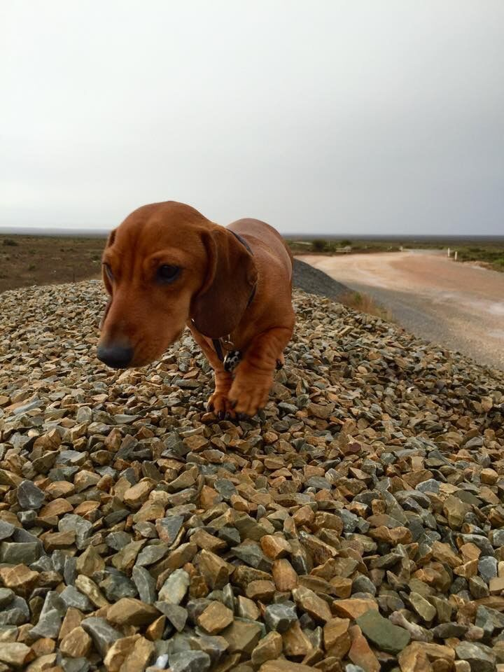 Pin By Slipianide On Doxies Dog Breeds Dog Love Dachshund