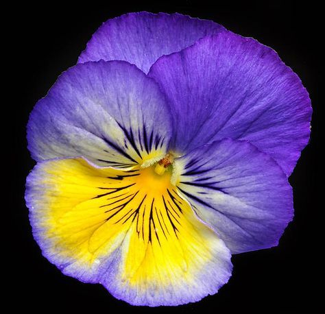 Pansy By Dave Mills At Http Fineartamerica Com Pansies Flowers Flower Painting Beautiful Flowers
