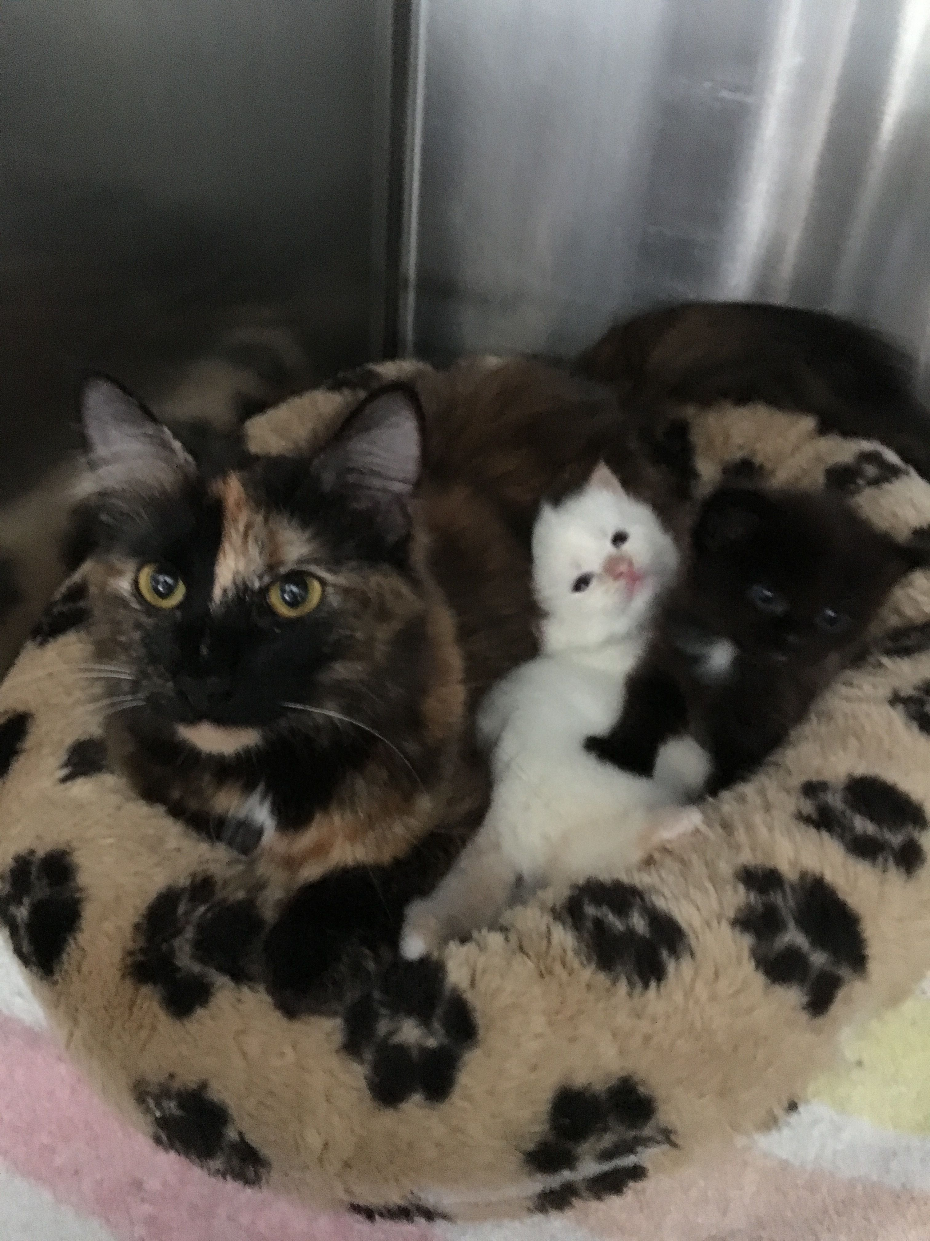 Adopt Pumpkin Pie On Cat Adoption Cats And Kittens Pet Adoption