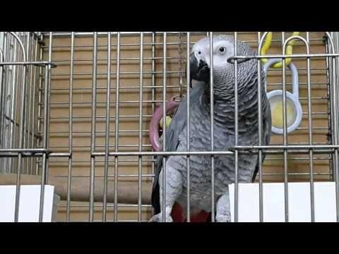 ببغاء كاسكو 200 كلمه وايتان من تلقين مؤيد امازون African Grey Parrot African Grey Parrot