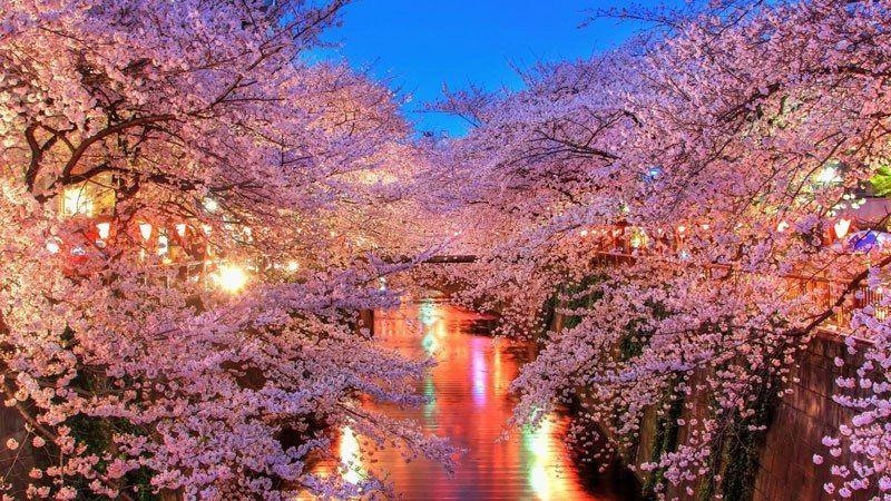 Japan Cherry Blossom Trail Google Search Cherry Blossom Wallpaper Cherry Blossom Background Spring Wallpaper