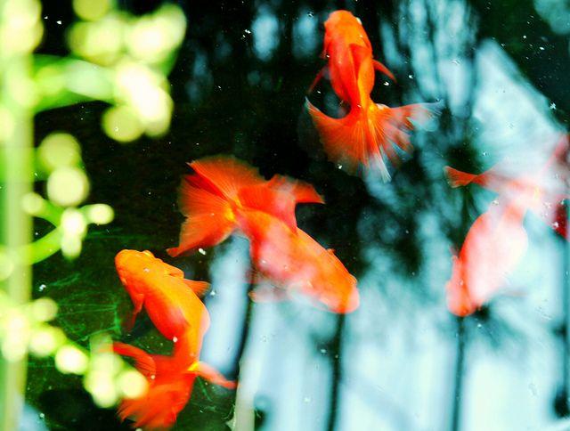 My work Goldfish -金魚-, via Flickr.