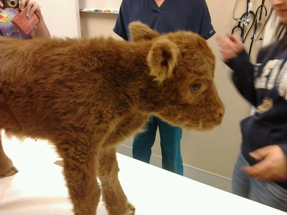 Pin by Jay Cadarette on Animals! Baby cows, Cute baby