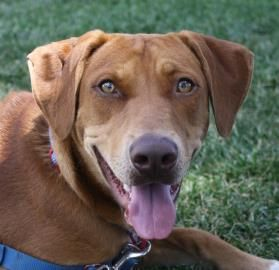 Adopt Browning Sponsored Adoption Fee On Petfinder Rhodesian