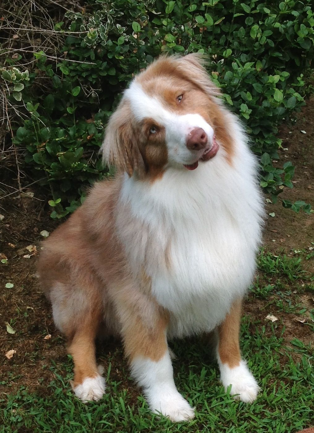 My Sweet Boy Caleb Aussie Australianshepherd Redmerle Mansbestfriend Aussie Dogs Australian Shepherd Dog Breeds