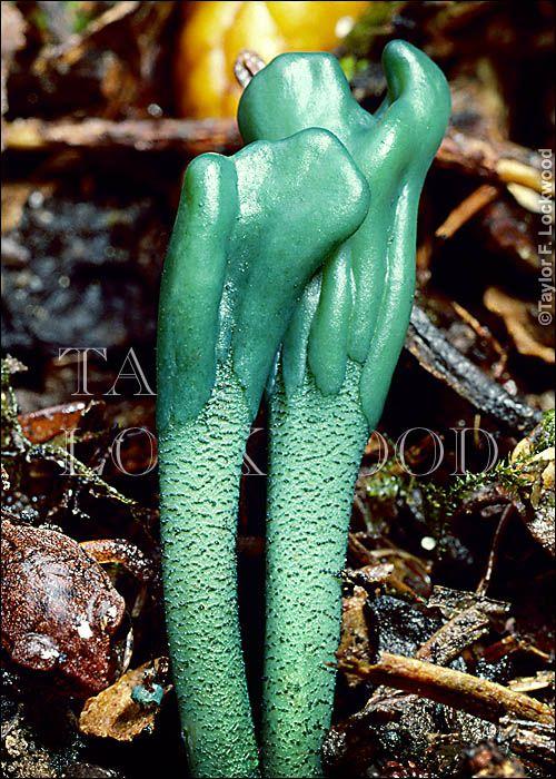 Microglossum viride ©2011 Taylor F. Lockwood Visit the fungiphoto.com website for a wonderful fungi resource.