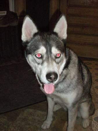 Lostdog 3 13 14 Syracuse Ny 4 Year Old Female Siberianhusky