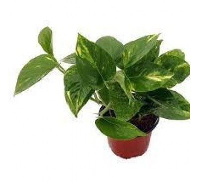Money Plant Creeper Ideas