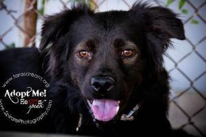 Adopt Amanda On Adoption Retriever Dog Flat Coated Retriever