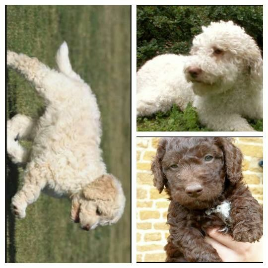 The Beautiful Lagotto Romagnolo An Italian Beauty That Dazzles