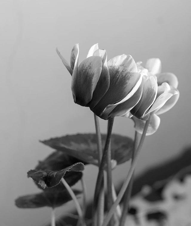 indoor flowers blackandwhite stillife stillifephotography