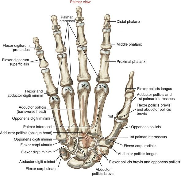 Everything About Hand Hand Movement Detailed Anatomy Of The Hand