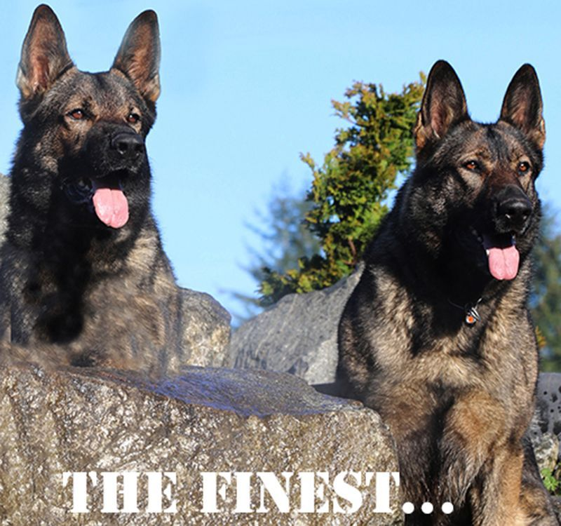 Fully Trained Adult Dogs Kraftwerk K9 German Shepherds