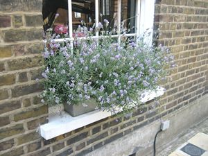 Growing And Pruning Lavender Window Plants Window Box Plants Window Box Flowers