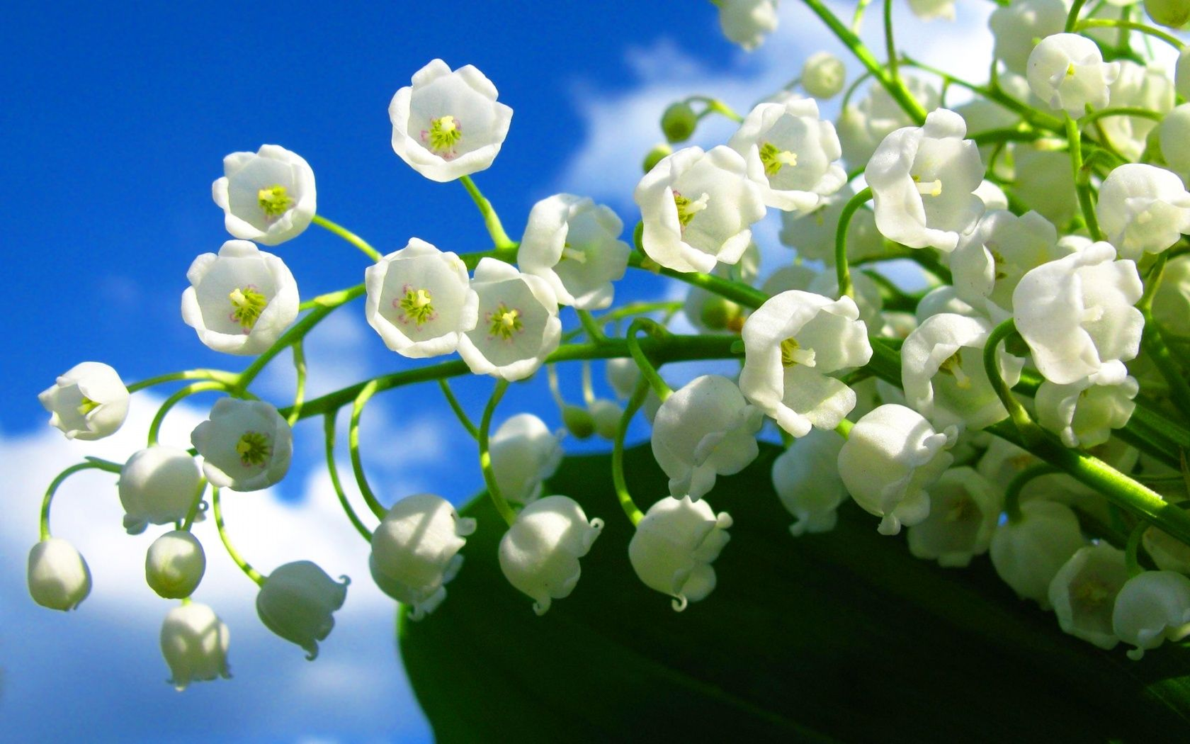 Valley Flowers Lily Of The Valley Flowers Nature
