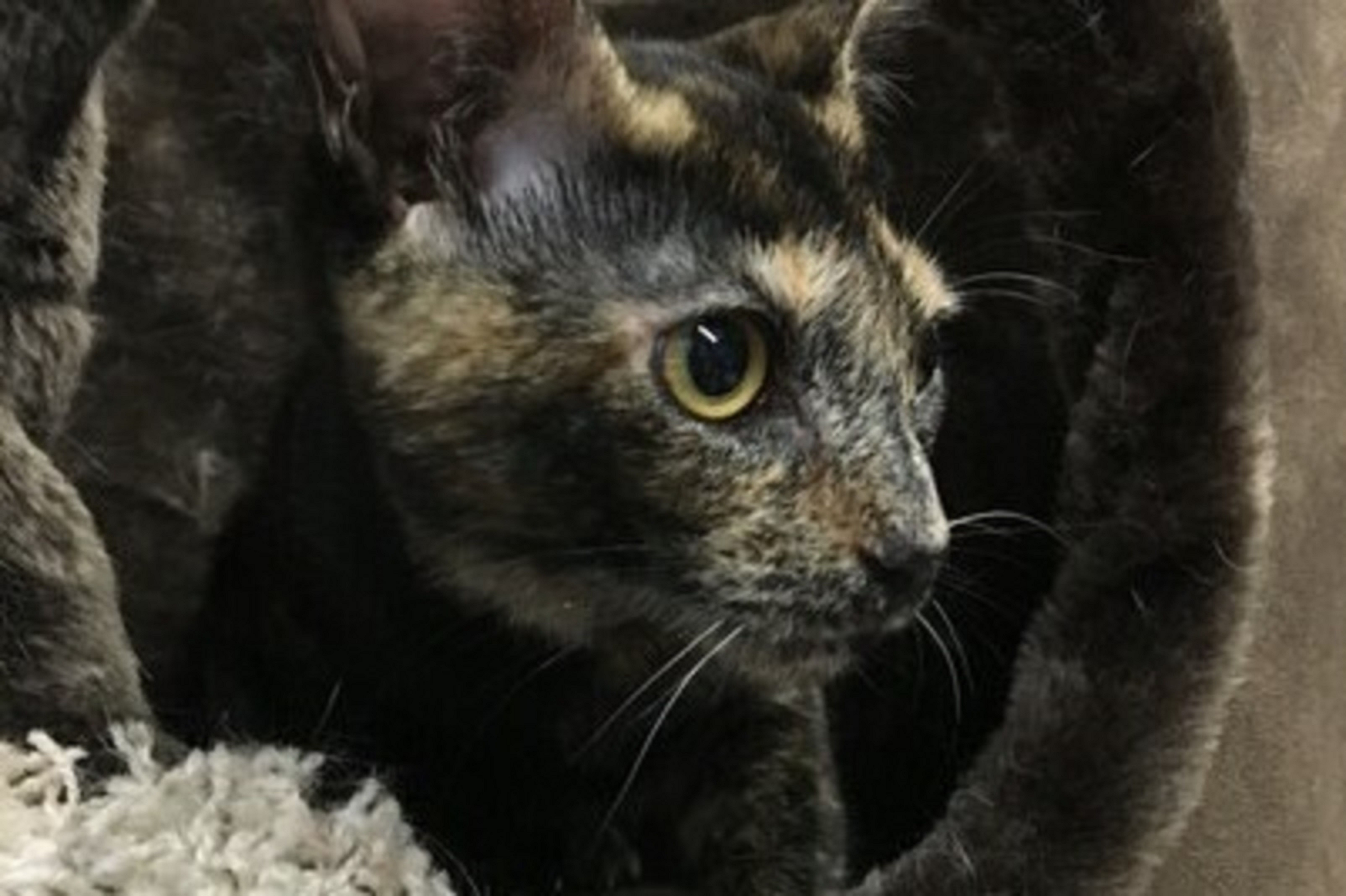 Flower Is A 6 Month Old Female Tortoiseshell Mix Kitten Who Was Born On Easter She Is Shy But Curious And Playful A Dog Adoption Raining Cats And Dogs Pets