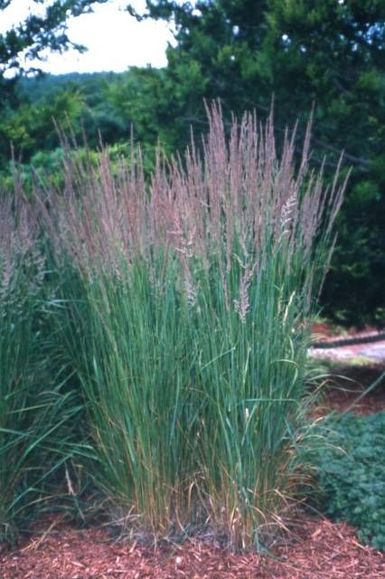 Calamogrostis Karl Forster Roceco Ecological Products Buy Online Uk Ornamental Grasses Plants Trees To Plant