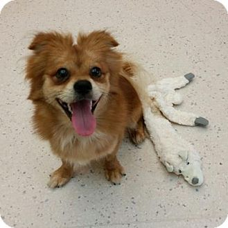 Janesville Wi Pomeranian Mix Meet Kingsley A Dog For Adoption