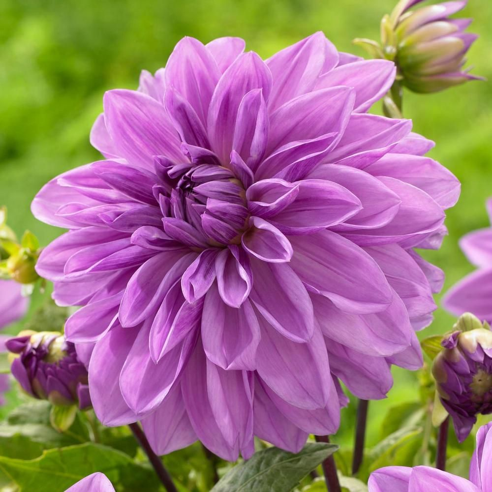 Dahlia Lilac Time A Lovely Violet Blue Dahlia Developed In England From The Famous Darker Hued Variety Thomas Edison Flower Landscape Dahlia Flower Flowers
