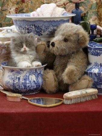 9 Week Blue Bicolour Persian Kitten Brindle Teddy Bear And