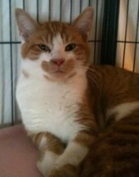 Adopt Fletcher On Petfinder Orange And White Cat White Cats Cute Cats