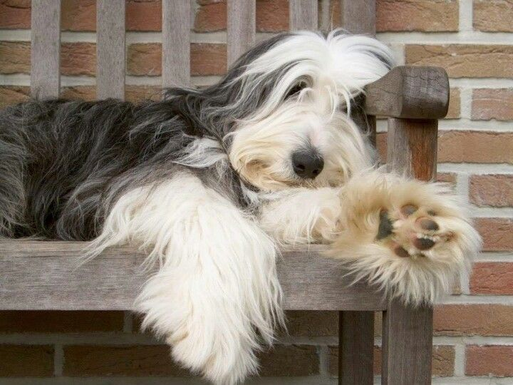 Pin By Tatiana Brenes On About Dogs Bearded Collie Puppies