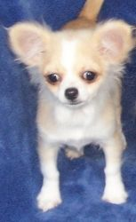 Adopt Tiny Chi Sisters On Chihuahua Dogs Pet Adoption Dog Love