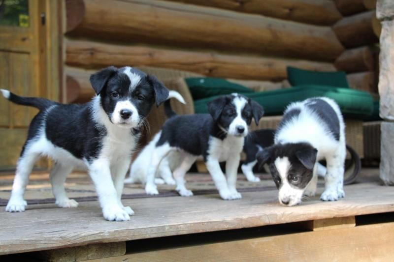 Adopt Puppies On Great Pyrenees Dog Aussie Puppies Puppies