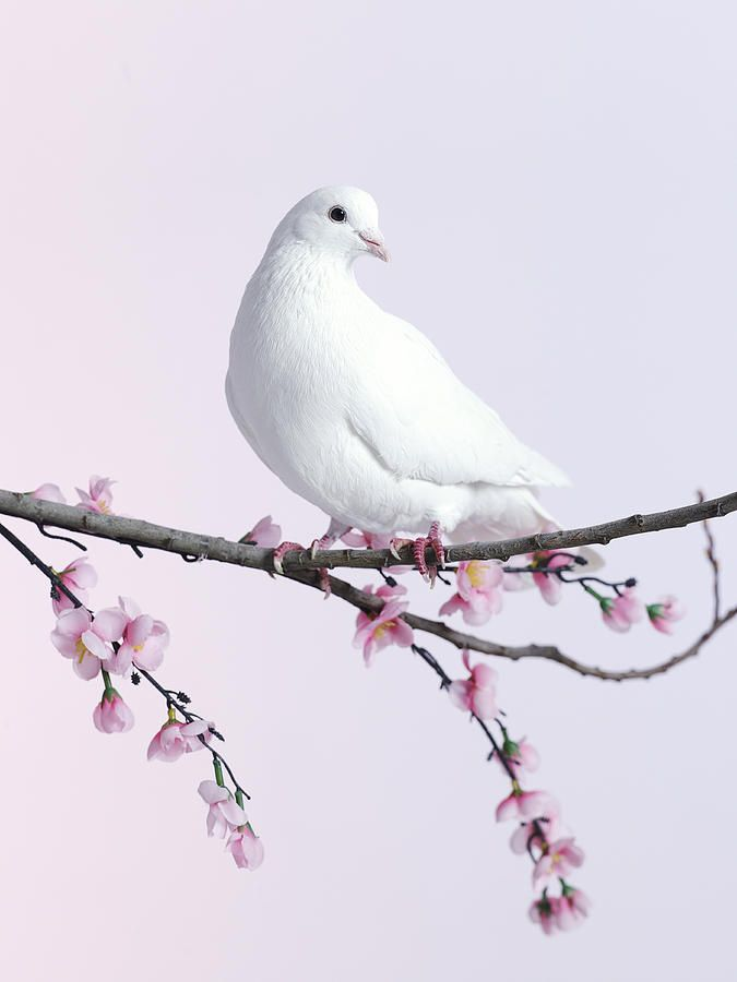 Single Dove On A Branch With Blossom By Walker And Walker Dove Pictures Dove Painting Pet Birds